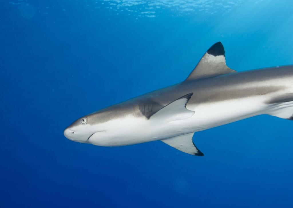 Blacktip_Reef_Shark-1