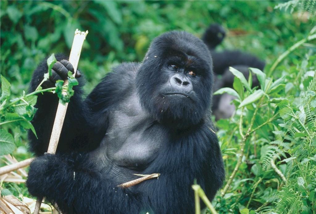 Snapshot Monday ~ Mountain Gorillas of Rwanda