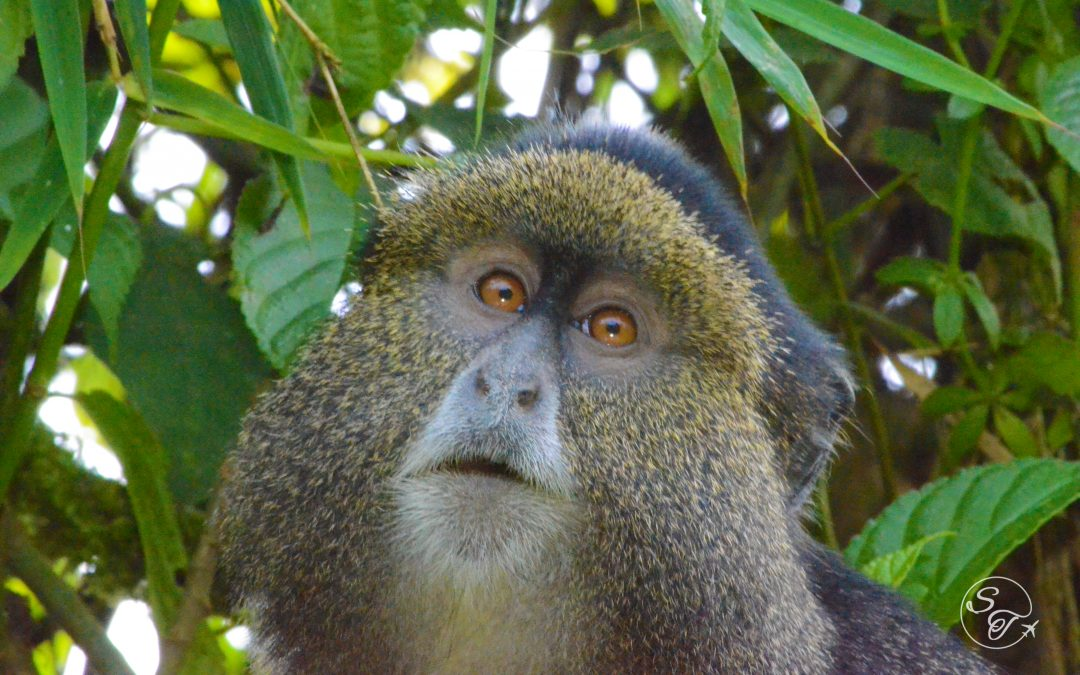 Trekking with Rwanda's Golden Monkeys